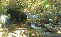Endangered Asiatic black bear found in DMZ