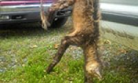 Legendary beast chupacabra may have made way to North Carolina