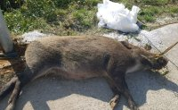 Twentieth wild boar infected with African swine fever