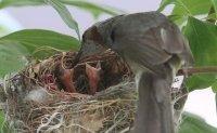 Bird lays eggs in court; refurbishment on hold to protect newborn