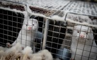 Danish agriculture minister steps down over decision to cull all farmed mink
