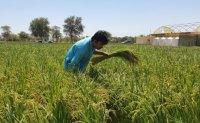 Korea succeeds in cultivating rice in UAE desert