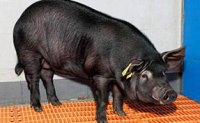 Korean scientists develop Alzheimer's pig for research