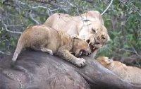 [영상] 아기 사자를 공격하는 어미 사자