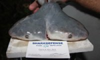 Fisherman discovers first ever two-headed bull shark