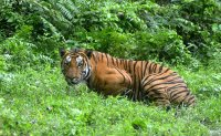 Tiger suspected of killing 13 shot dead in India