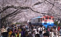 Day trip to Gunhangje, Korea's largest cherry blossom festival