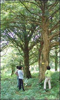 Tree-Human Bondage Built on Bijarim Forest