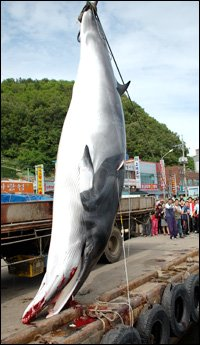 Call for Whaling Resurfaces