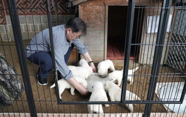 President Moon Jae-in feeds seven puppies of one of the two Pungsan-breed dogs, gifted to him by North Korean leader Kim Jong-un, at his residence within Cheong Wa Dae in this photo released by the presidential office, Saturday. Courtesy of Cheong Wa Dae