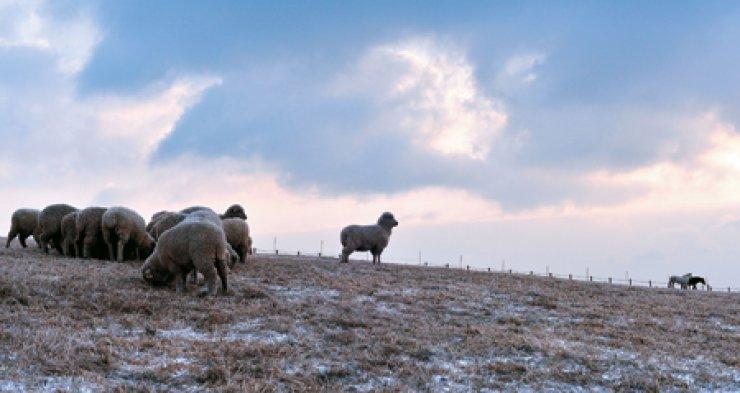 A herd of sheep, next to two horses, graze grass at Daegwallyeong Sheep Farm in Pyeongchang, Gangwon Province. / Korea Times photo by Shim Hyun-chul