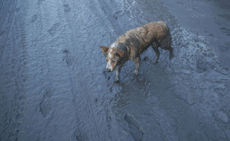 A dog walks along ash fall covered road as Taal Volcano continues to spew ash on Monday Jan. 13, 2020, in Tagaytay, Cavite province, south of Manila, Philippines. The small volcano near the Philippine capital that draws tourists for its picturesque setting in a lake erupted with a massive plume of ash and steam Sunday, prompting the evacuation of tens of thousands of people and forcing Manila's international airport to shut down. AP