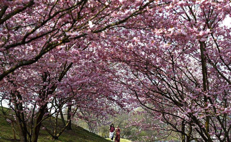 Young woman take pictures under blooming cherry blossoms at the Olympic park in Munich, Germany, Monday, April 1, 2019. AP
