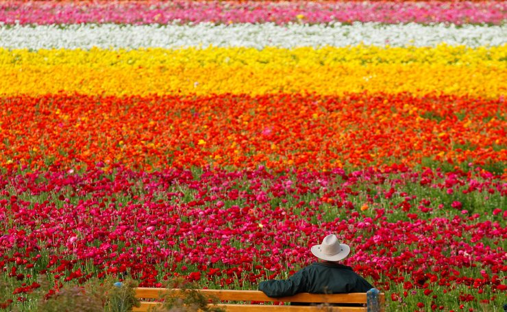 A visitor looks at the Flower Fields at Carlsbad Ranch as he enjoys nearly 50 acres of blooming giant Tecolote ranunculus flowers in Carlsbad, California, U.S., March 21, 2019. Reuters