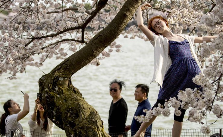 Adelaide King of Lake Ignore, Md., poses on a cherry blossom tree along the Tidal Basin, Saturday, March 30, 2019, in Washington. Peak bloom is expected April 1, according to the National Park Service. AP