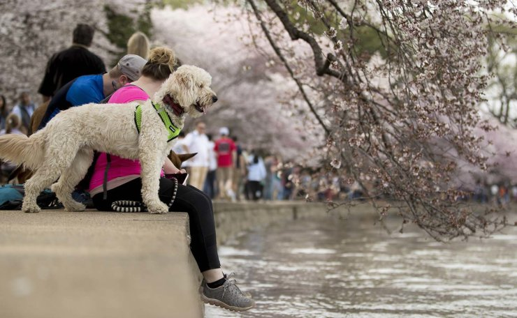 Russel Dietz and Jessica Jones of New Cumberland, Pa., and their dog Remington visit the cherry blossom trees along the Tidal Basin, Saturday, March 30, 2019, in Washington. Peak bloom is expected April 1, according to the National Park Service. AP