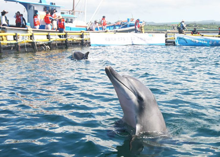 An Indo-Pacific bottlenose dolphin 'Chunsam,' pokes its head out of water and another dolphin 'Jedol' swims behind in waters off Jeju Island, Thursday, before they were freed to the open sea. / Yonhap