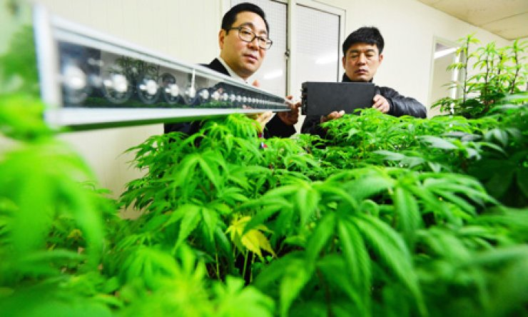 Police take a photo of marijuana plants, found at a house in Seoul earlier this year. A simple online search can connect potential buyers from Korea with sellers of illegal drugs, which is increasingly becoming a problem.