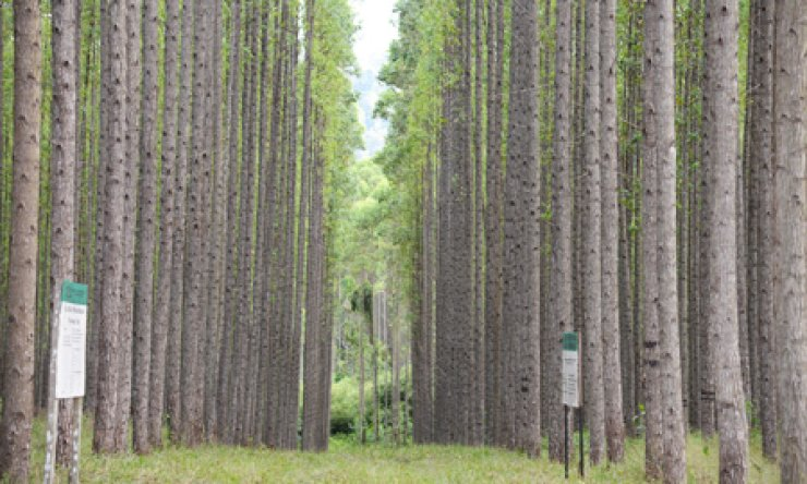 A tree plantation created by Korindo Group in Indonesia. The Korea Forest Service (KFS) has been assisting Korindo and other companies in developing tree farms overseas to meet growing domestic timber demand. / Courtesy of KFS