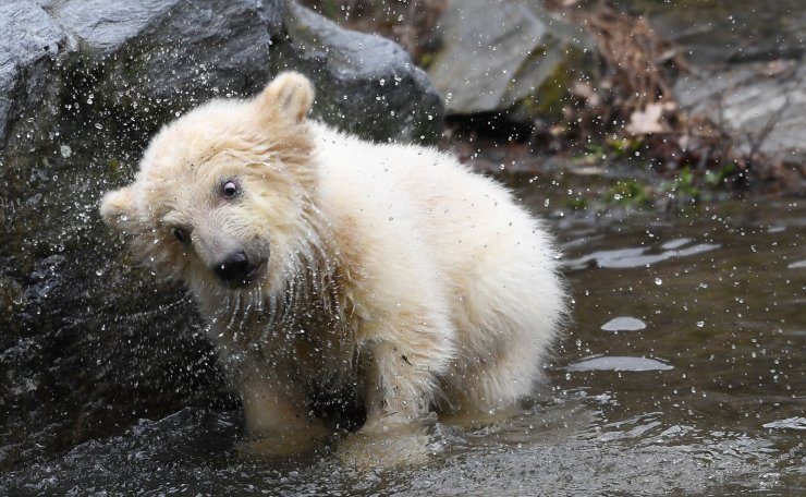A polar bear cub shakes while getting out of the water at her enclosure as she is presented to the press after leaving the breeding burrow for the first time on March 15, 2019 at the Tierpark zoo in Berlin. - The cub, who does not have a name yet, was born on December 1, 2018. AFP