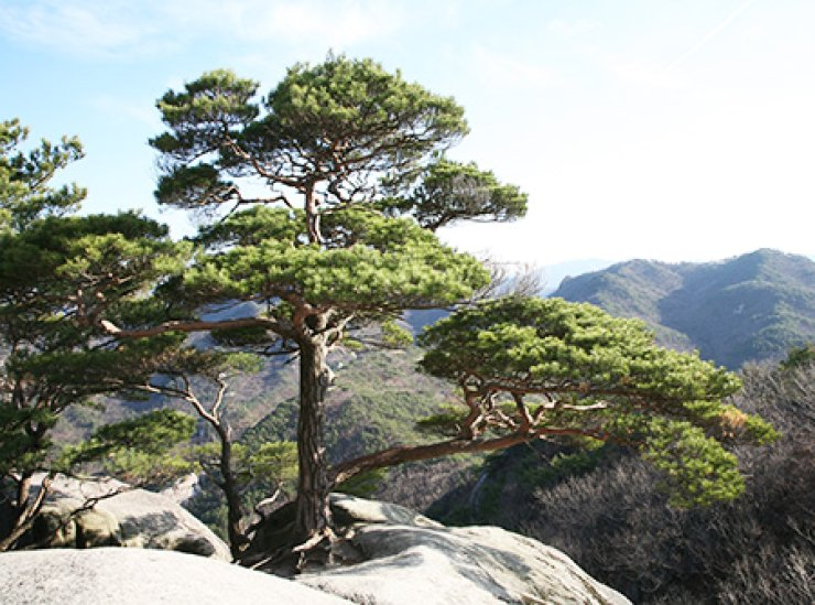 The Korea Forest Service has changed the name of the 'Japanese red pine,' which was arbitrarily assigned to the trees by Japanese botanists during Japan's 1910-1945 colonial rule of the Korean Peninsula, to 'Korean red pine.'/ Courtesy of Korea Forest Service