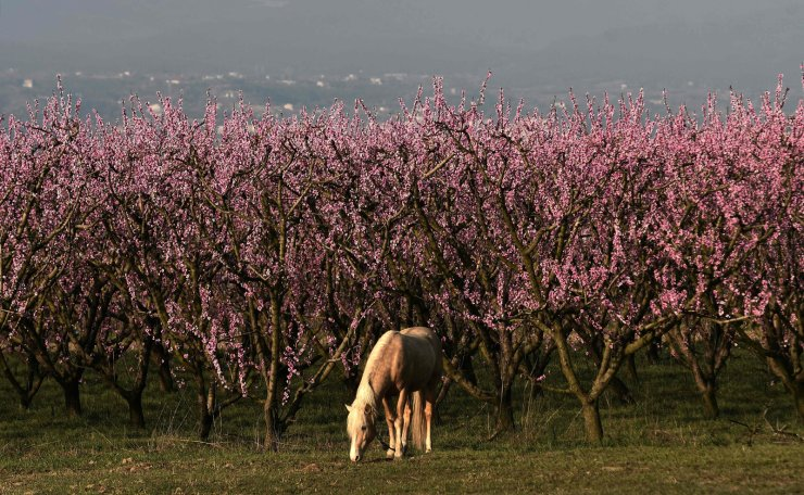 Every year there is a unique phenomenon that appears in the Greek countryside, which resembles the one of Japan and its blossomed cherry trees. In mid-March, the fertile plain of Veria is transformed in a vast pink coloured bed of blossoming peach trees. AFP