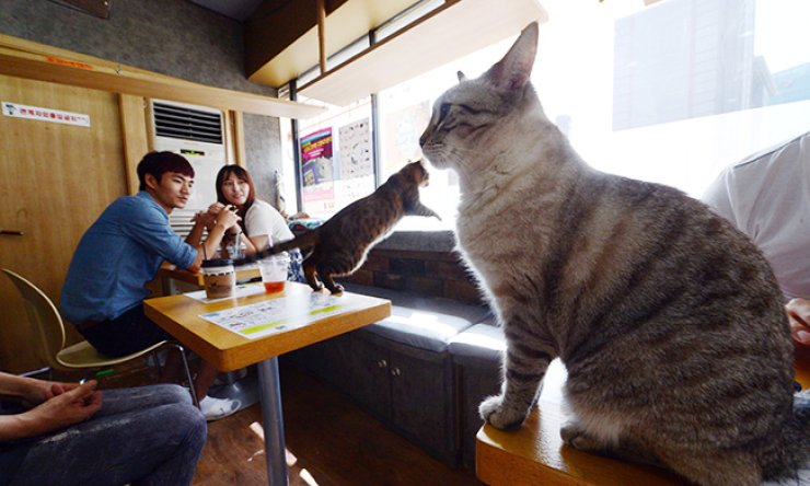 Cats roam around a cat cafe in Seoul. While animal cafes have gained popularity, animals there often face mistreatment as Korea does not have a law governing the places. / Korea Times file