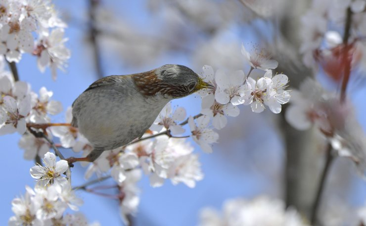 A bird is seen on a flowering tree in Xuan'en County, Enshi Tujia and Miao Autonomous Prefecture, central China's Hubei Province, March 18, 2019. Xinhua