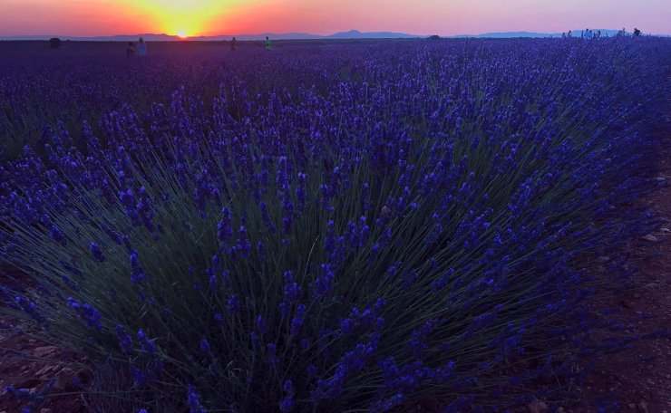 A general view over lavender filelds as the sun rises in Guadalajara, central Spain, 14 July 2019. The lavender production is relegating the growing of cereal and, presently, there are more than 2,500 hectares of land dedicated to grow lavender. This kind of growing is a tourist ploy as several thousand tourists visit the province of Guadalajara in summer to observe the mauve landscape. EPA