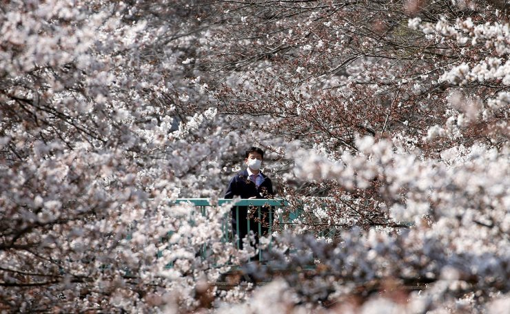 A man looks at cherry blossoms in almost full bloom in Tokyo, Japan, March 27, 2019. Reuters