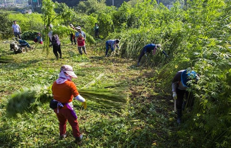Farmers in Andong, North Gyeongsang Province, harvest cannabis whose stalks are used to make fabric. The law in Korea bans cannabis products in general but allows seeds, matured stalks and stems. /Courtesy of Andong city government
