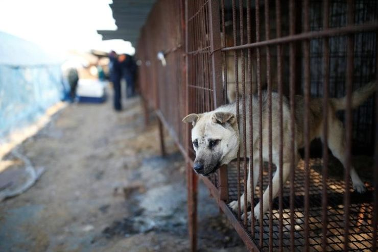 Livestock for some people, a pet for others. / Reuters