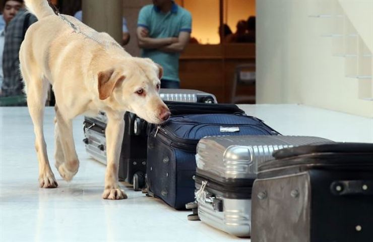 A sniffer dog runs a nose over suitcases at Incheon International Airport. Koreans who smoke marijuana in Canada, or anywhere else, could face criminal charges at home. Yonhap