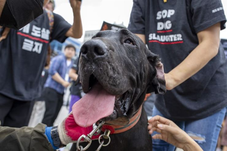 A dog rescued from a dog farm in South Gyeongsang Province at an animal rights rally / Korea Times photo by Shim Hyun-chul