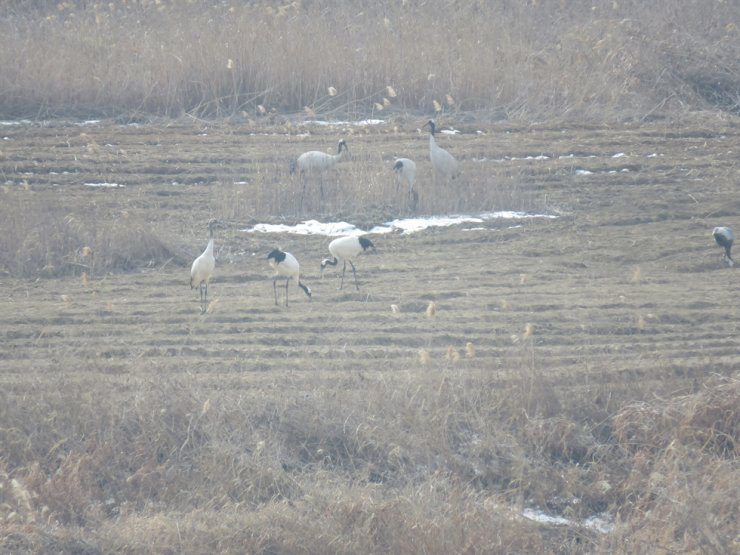 Cranes are seen at the civilian control zone in Yeoncheon County, Gangwon Province. Courtesy of Hanns Seidel Foundation Korea Office