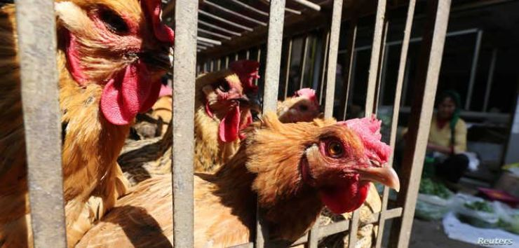 Chickens at a livestock market before the market was asked to stop trading to prevent bird flu transmission, in Kunming, Yunnan Province, China, Feb. 22, 2017. Reuters