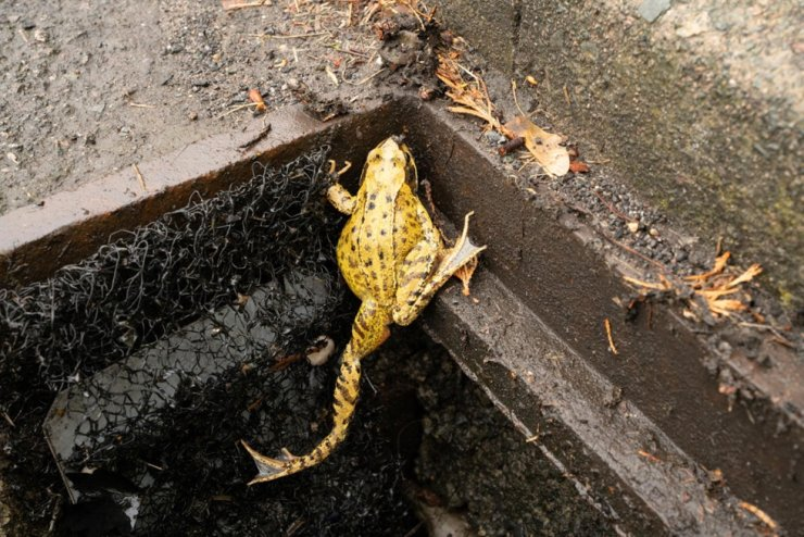 A frog ladder in Warwick, England, offers an escape route to amphibians trapped under roadside drains. Screen capture from YouTube