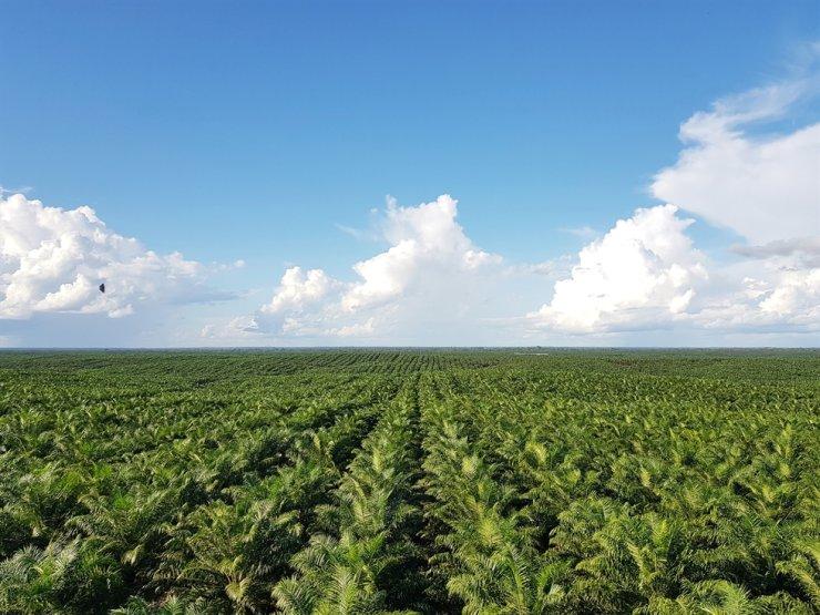 POSCO International's palm oil plantations in Papua, Indonesia / Courtesy of POSCO International