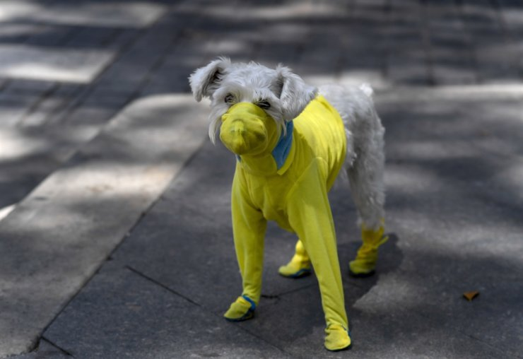 A dog wears a protective suit as a preventive measure against the spread of the new coronavirus, COVID-19, in Caracas, on March 20, 2020. The dog in the photo is unrelated to the story. AFP