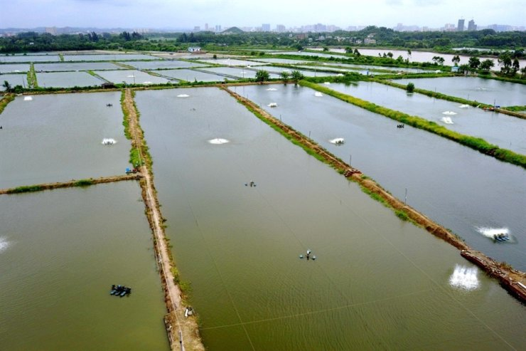 A quarter of the shrimp farms in Guangdong province have been infected with a deadly new disease Div1, local farmers say. Photo: Xinhua