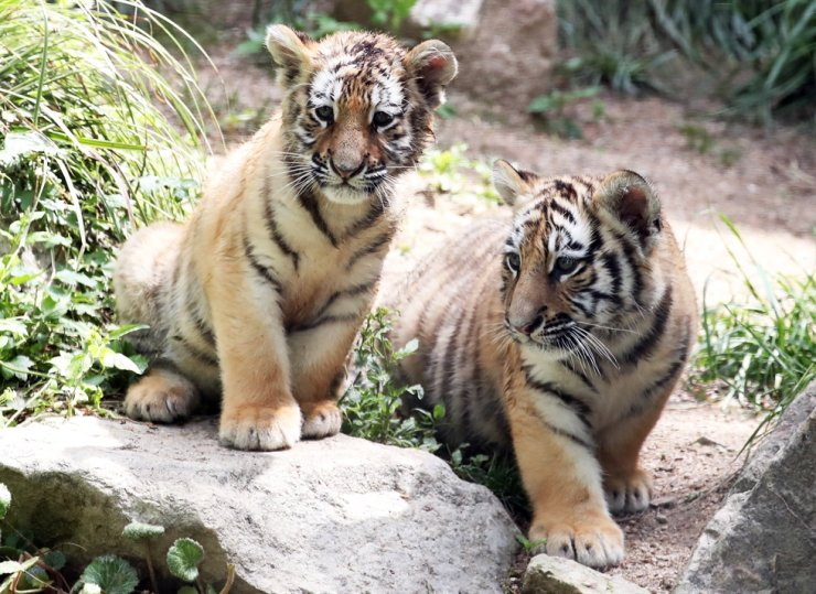 Tiger cubs born on Feb. 20 make their public debut at Everland in Yongin, Gyeonggi Province, May 21, before the International Day for Biological Diversity (May 22). Yonhap