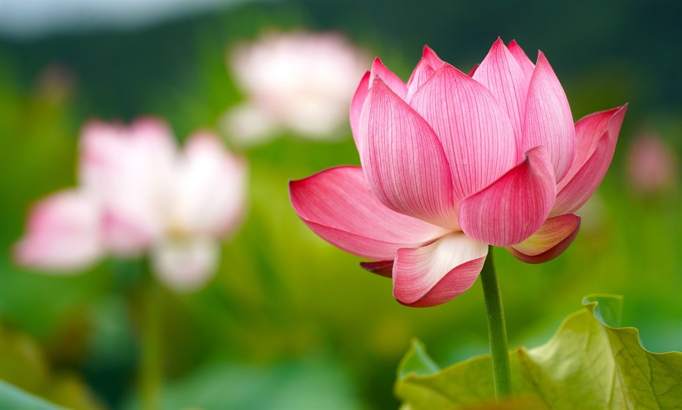 Lotuses are in full bloom at the Lotus Village in Hwacheon, Gangwon Province, Wednesday. Yonhap