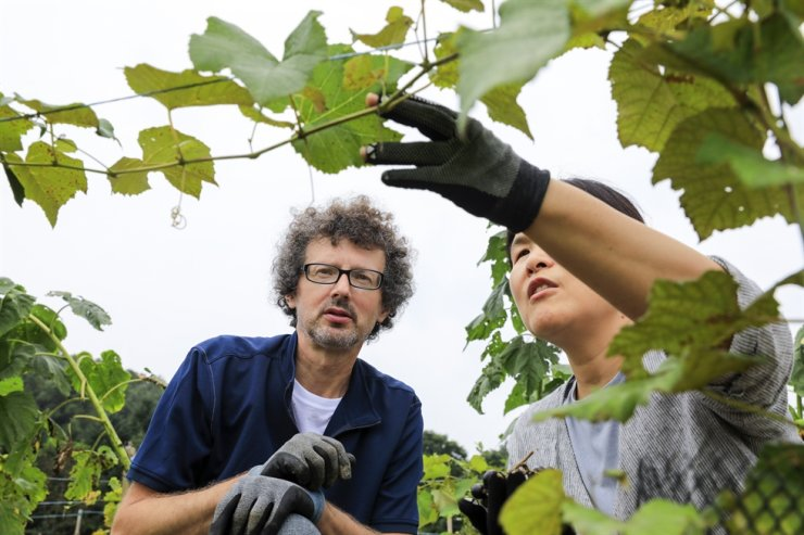 French farmer and winemaker Dominique Herque, left, and his farmer-novelist wife Shin Yi-hyun check grapevines in their vineyard in Chungju City, North Chungcheong Province, on Sep. 17. / Korea Times photo by Shim Hyun-chul