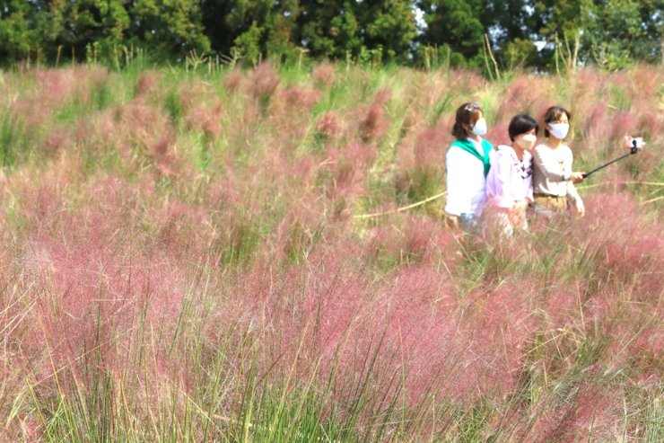 Tourists take a selfie in a pink muhly grass garden on Jeju Island, Tuesday. /Yonhap