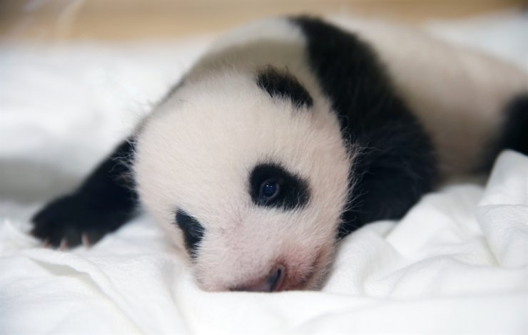 Seen is a 50-day-old giant panda born at Everland in Yongin, Gyeonggi Province. The theme park said Thursday the giant panda, which was born in July, now weighs 2 kilograms and is getting to look more panda-like as its black-and-white pattern emerges. / Courtesy of Samsung C&T