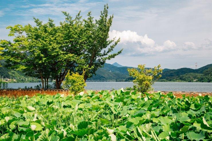 Green lotus flower field at Dumulmeori in Yangpyeong / gettyimagesbank