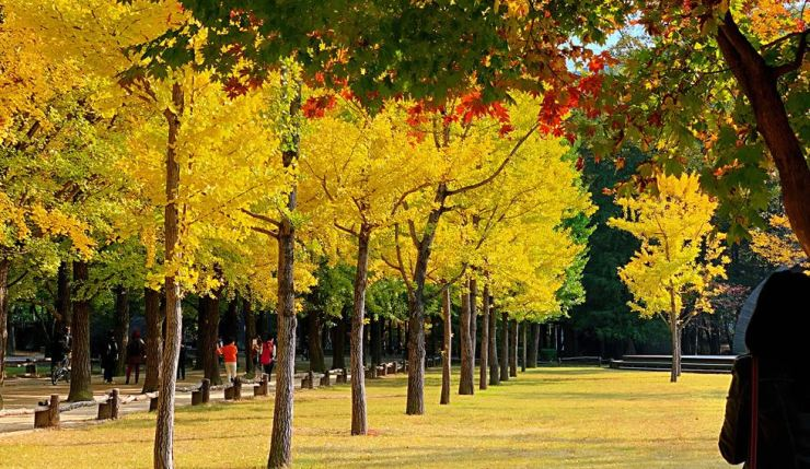 Autumn scenery in Nami Isand, one of the most popular tourist spots in Gangwon Province/Yonhap