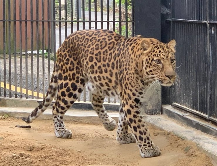 Seoul Zoo sent two North Chinese leopards to Europe this week to help save the endangered species. Courtesy of Seoul Zoo, Yonhap