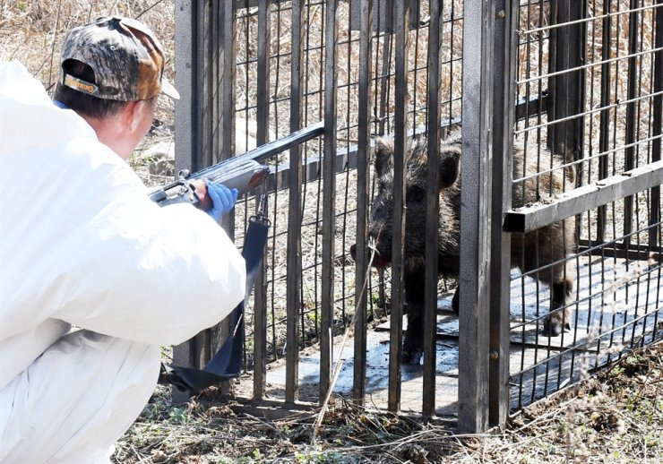 A member of the African swine flu field response team from Hwacheon County in Gangwon Province looks at a wild boar trapped on a mountain in the county's Sanae Village on Apr. 22, 2020. Korea Times file