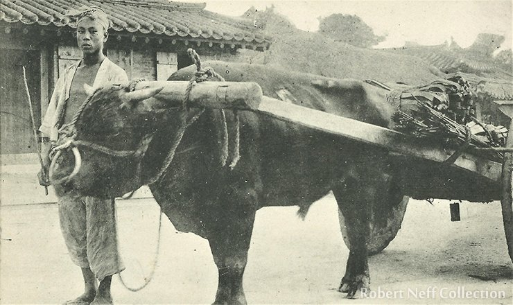 A man with his ox cart circa 1900s.  Robert Neff Collection
